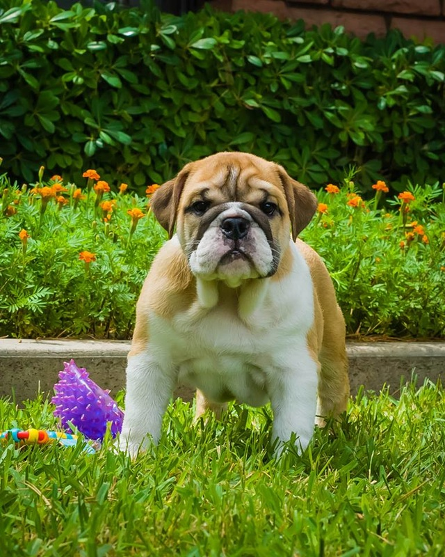 english bulldog puppies az arizona s best english bulldogs home 6500